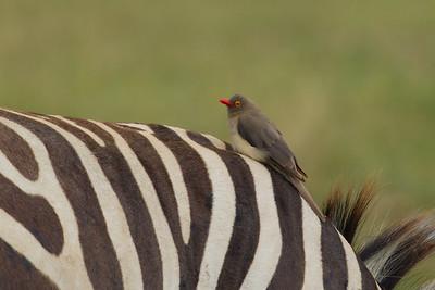 Red-billed Oxpecker on a zebra - Lake Nakuru Naional Park, Kenya