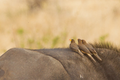 Yellow-billed Oxpecker - Tarangire National Park, Tanzania