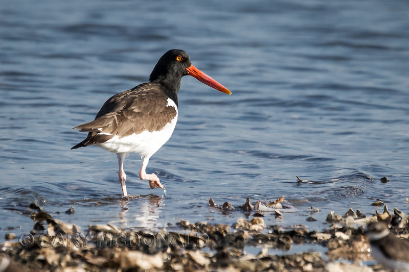 the oystercatcher posing