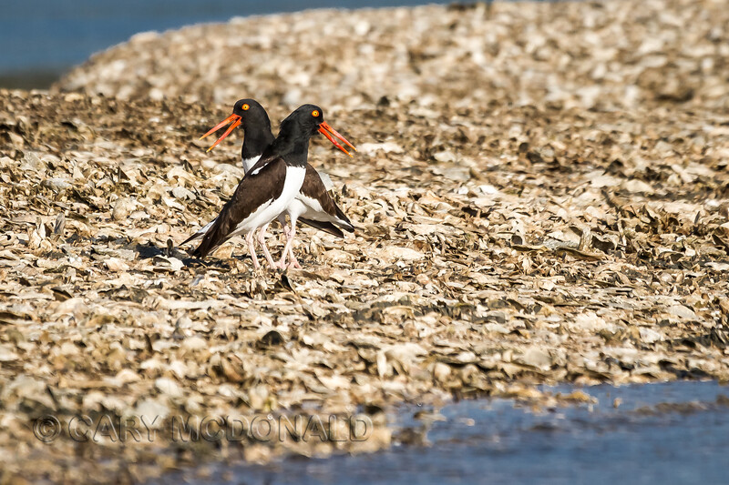 the oystercatcher mirror dance