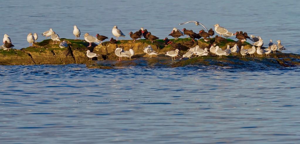 Oystercatchers, Turnstones and Gulls