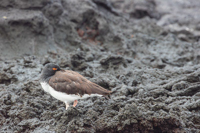 American Oystercatcher - Galapagos, Ecuador