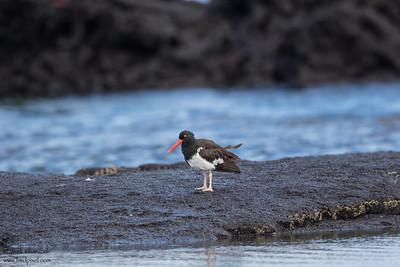 American Oystercatcher - Galapagos, Ecuador, Ecuador