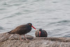Black Oystercatcher (Record) - Morro Bay, CA, USA