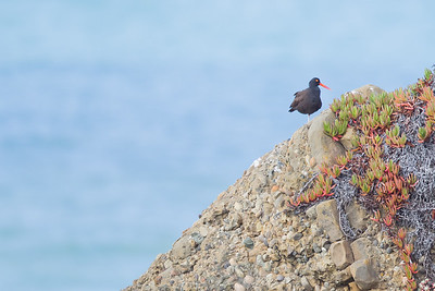 Black Oystercatcher - Pigeon Point Lighthouse, CA, USA