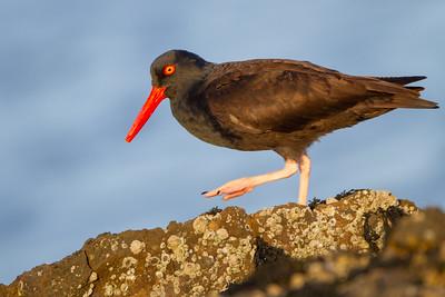 Black Oystercatcher - Half Moon Bay, CA, USA