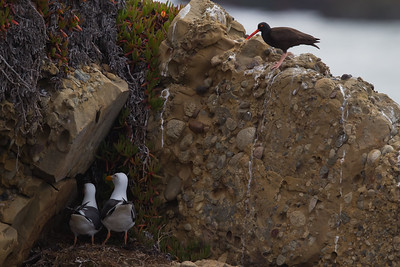 Western Gulls probably raiding the nest of a Black Oystercatcher - Pigeon Point Lighthouse, CA, USA