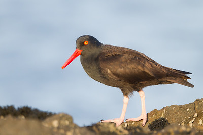 Black Oystercatcher - Male - Pillar Pt. Harbor, Half Moon Bay, CA, USA