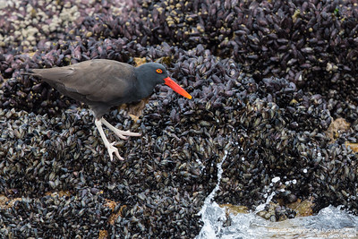Blackish Oystercatcher - Pucusana, Peru