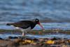 Magellanic Oystercatcher - Ushuaia, Argentina