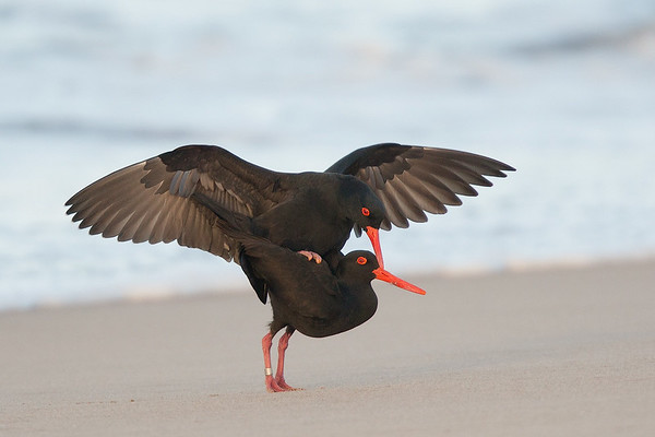 Sooty Oystercatchers mating<br /> Ben Boyd National Park, NSW, Australia