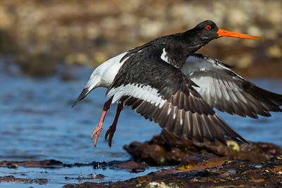 South Island Pied Oystercatcher