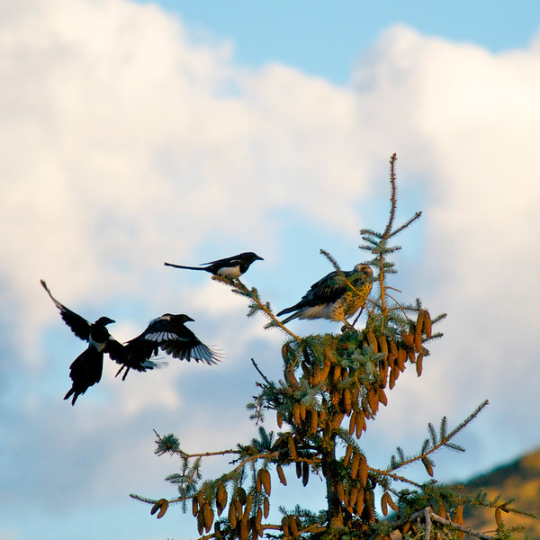 Magpies attack a Peregrine Falcon