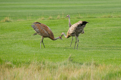 Mating ritual.