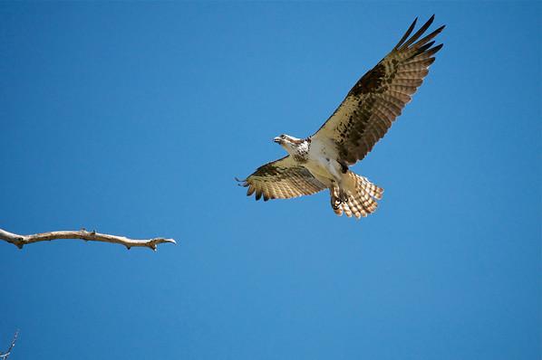 Osprey.