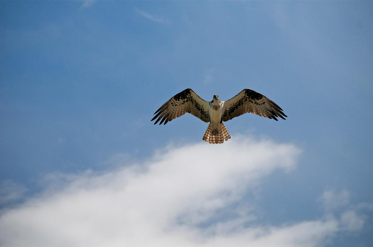 Osprey guarding her nest.