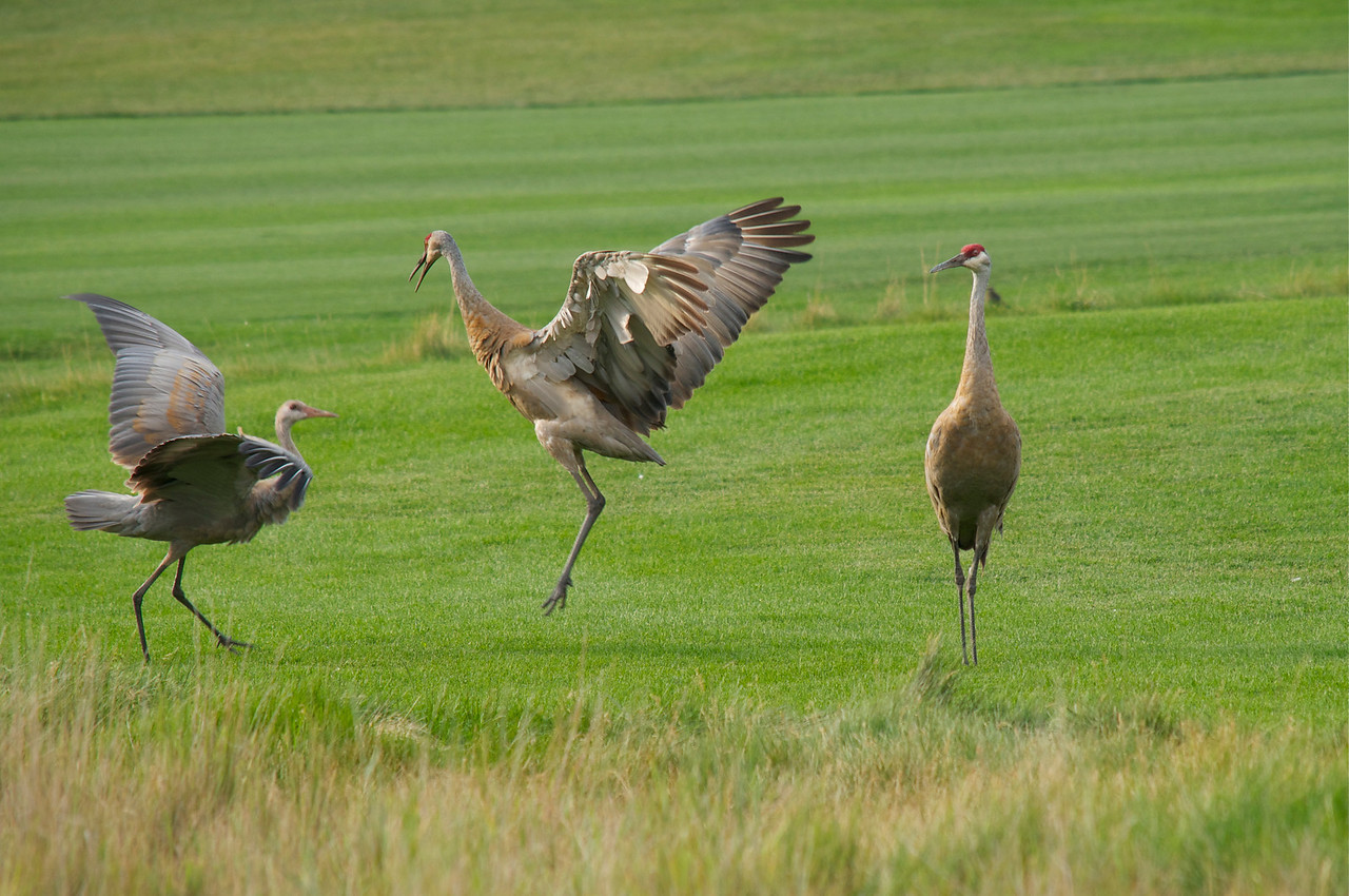 Male demonstrating the art of flying to the immature crane.