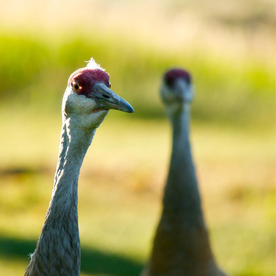 Pair of Sandhill cranes in Park City, UT 2012