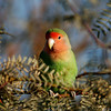 Peach-faced lovebird- GWR_AZ- 903
