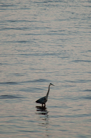 PEI - Blue Heron