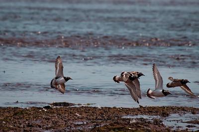 PEI Shorebirds