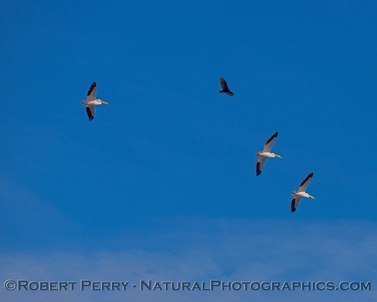 Pelecanus erythrorhyncos in flight & Cathartes aura 2018 02-01 Colusa NWR--023