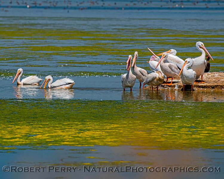 Pelecanus erythrorhynchos White pelican 2020 08-07 Sac NWR--018