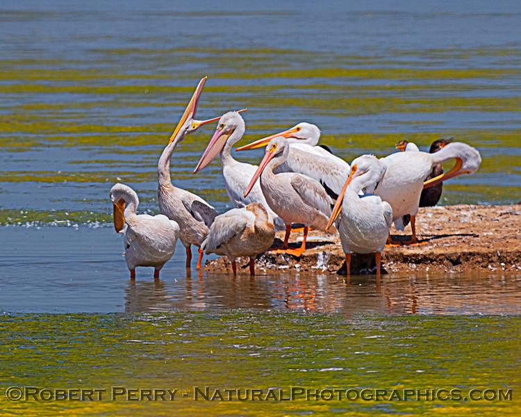 Pelecanus erythrorhynchos White pelican 2020 08-07 Sac NWR--025