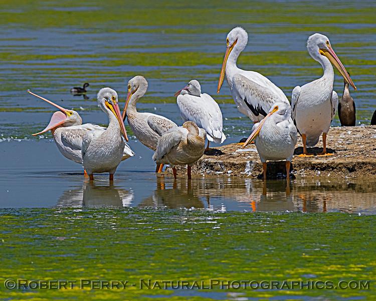 Pelecanus erythrorhynchos White pelican 2020 08-07 Sac NWR--054