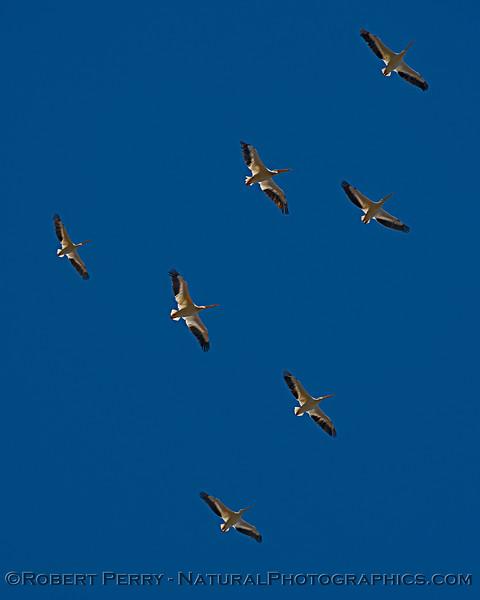 Pelecanus erythrorhyncos in flight 2019 09-24 Yolo ByPass-034