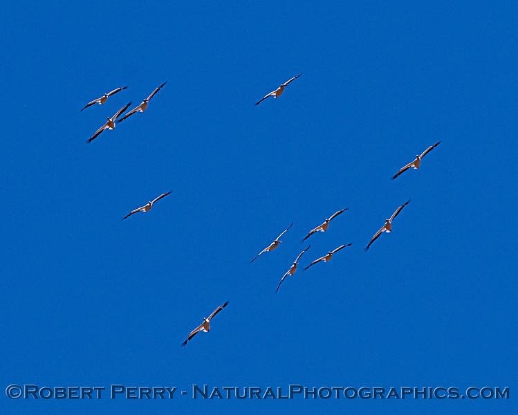 Pelecanus erythrorhynchos flock soaring 2018 06-05 Yolo County--0086