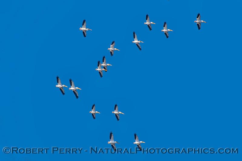 Pelecanus erythrorhyncos flock soaring thermal 2018 02-03 Yolo & ByPass--113