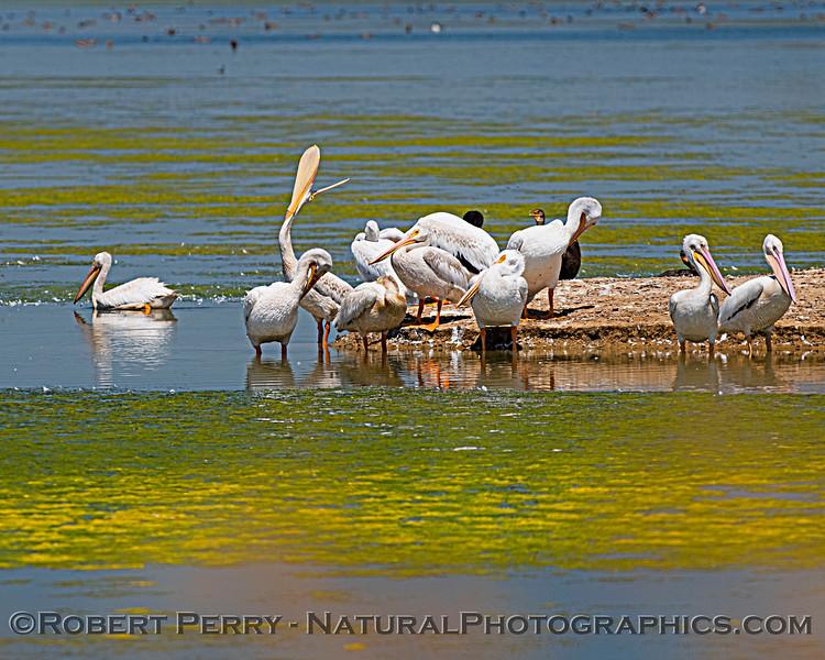Pelecanus erythrorhynchos White pelican 2020 08-07 Sac NWR--048