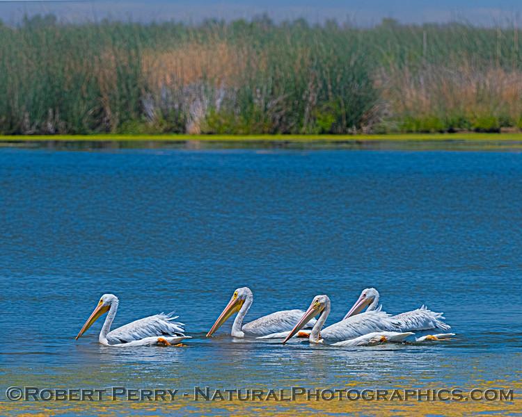 Pelecanus erythrorhynchos White pelican 2020 08-07 Sac NWR--105