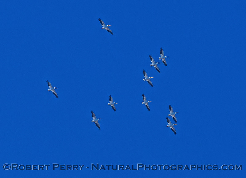 Pelecanus erythrorhynchos flock in flight 2016 10-20 Delta - 053