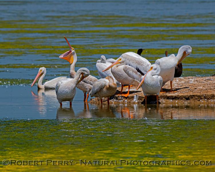 Pelecanus erythrorhynchos White pelican 2020 08-07 Sac NWR--034