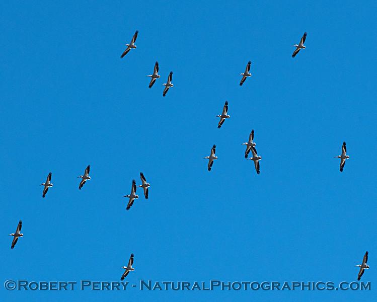 Pelecanus erythrorhynchos flock in flight 2018 06-05 Yolo County-b-0024