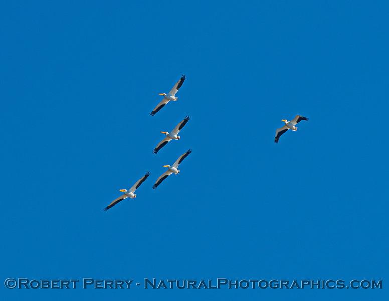 Pelecanus erythrorhynchos flock in flight 2021 02-05 Yolo ByPass-b-031