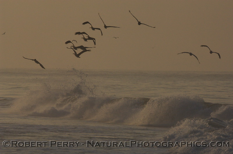 Brown Pelicans soaring above the waves at dawn...Zuma Beach.