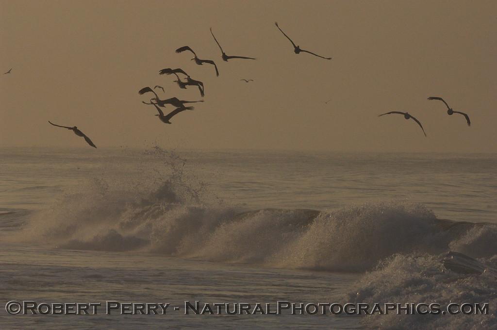 Brown Pelicans soaring above the waves at dawn...Zuma Beach.