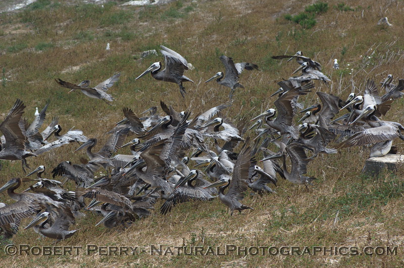 Flock of Brown Pelicans on the grassy hillside below Anacapa Light.
