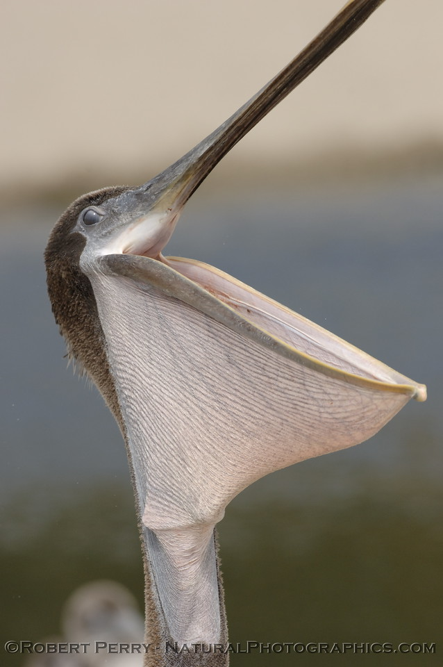 Fully distended Brown Pelican pouch....beak....belican...limrick.