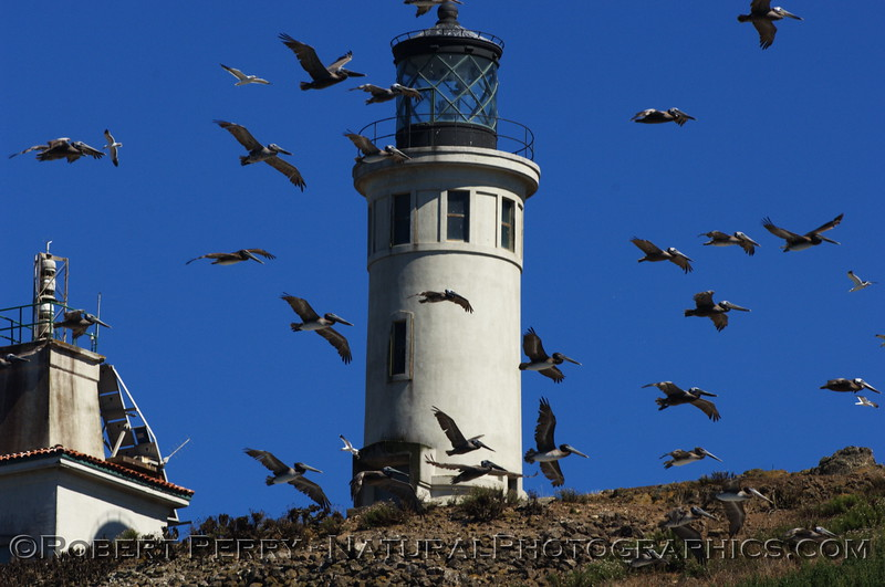 Anacapa Light with Brown Pelicans all flying around because a Bald Eagle was in the area.