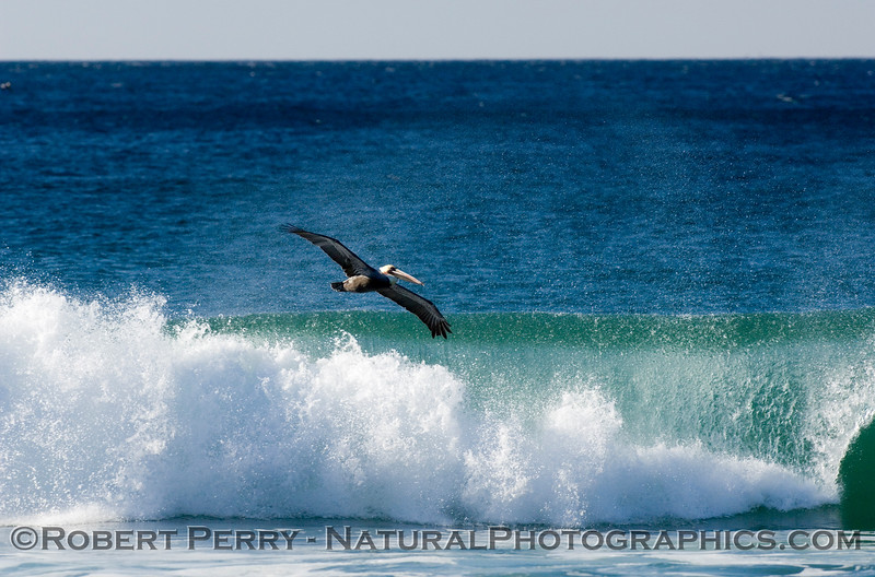 Sunny day, offshore breeze and a lone Brown Pelican rides the crisp, clean surf.