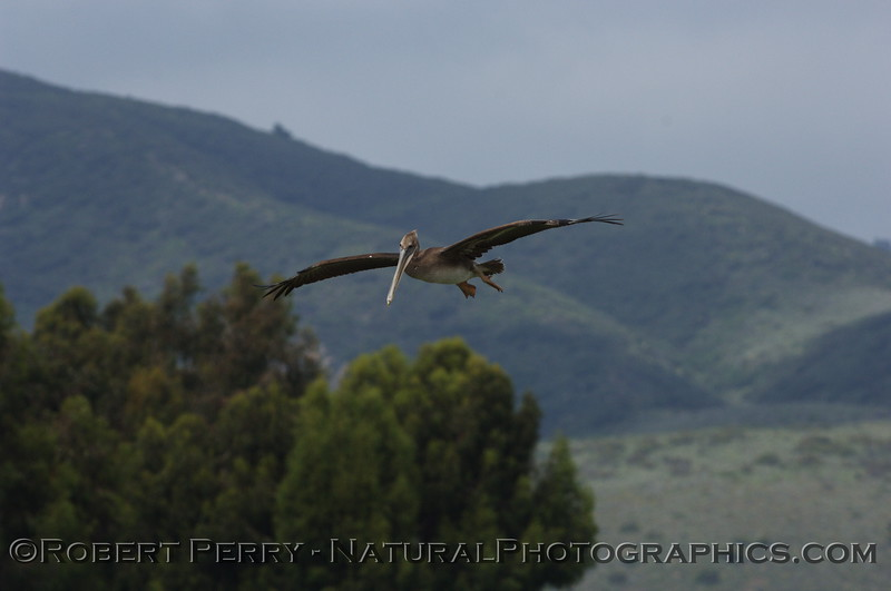Brown Pelican coming in for a water landing in Zuma Lagoon.