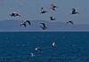 Pelecanus occidentalis flock in flight 2015 05-15 SB Channel-h-002