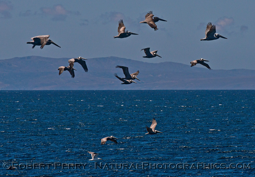 Pelecanus occidentalis flock in flight 2015 05-15 SB Channel-h-002