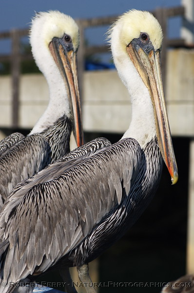 Twice adult Brown Pelicans.