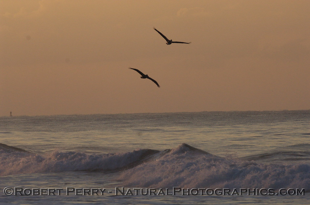 Two Brown Pelicans at dawn, over the waves.