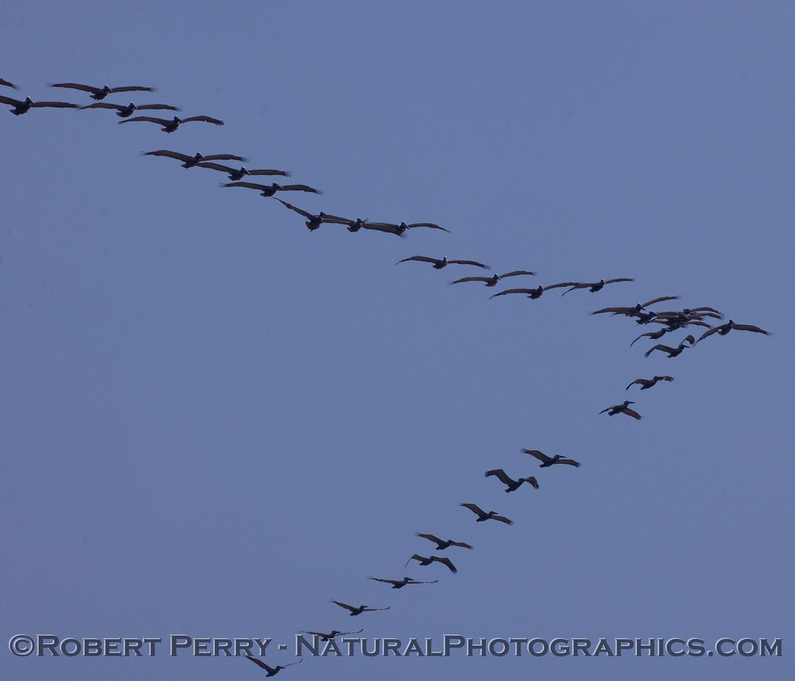 Pelecanus occidentalis V-flock in flight 2011 03-17 Zuma - 253